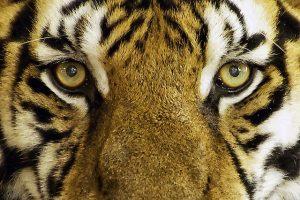 tiger chasing you